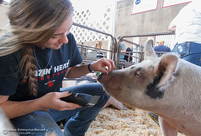Jenna Maturino gives her pig KJ a haircut in the livestock area at the Silver Dollar Fair Tuesday May 24, 2016 in Chico, Calif. (Emily Bertolino -- Enterprise-Record)