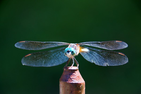 Dragonfly Near Silver Lake