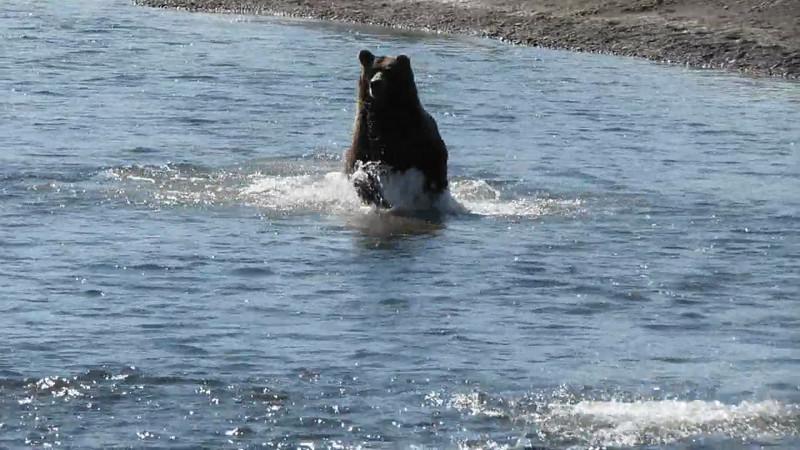 Borwn Bear Action Silver Salmon Creek Alaska Video