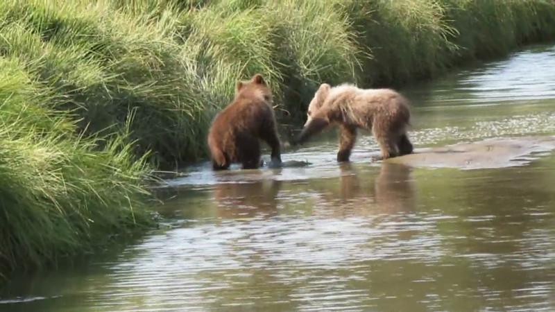 Fighting Brown Bear Cubs Silver Salmon Creek Alaska Video