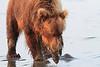 Brown_Bears_Clamming_Alaska (145)