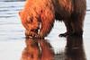 Brown_Bears_Clamming_Alaska (109)