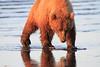 Brown_Bears_Clamming_Alaska (92)