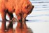 Brown_Bears_Clamming_Alaska (113)
