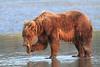 Brown_Bears_Clamming_Alaska (180)