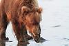 Brown_Bears_Clamming_Alaska (131)