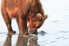 Brown_Bears_Clamming_Alaska (149)