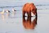 Brown_Bears_Clamming_Alaska (54)