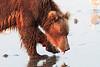 Brown_Bears_Clamming_Alaska (156)