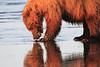 Brown_Bears_Clamming_Alaska (123)