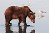 Brown_Bears_Clamming_Alaska (106)