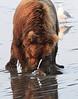 Brown_Bears_Clamming_Alaska (44)
