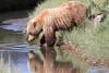 Brown Bear Cubs Mother Alaska Silver Salmon