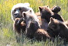 Brown_Bear_Mother_Alaska (17)