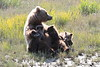 Brown_Bear_Mother_Alaska (62)