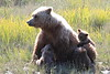 Brown_Bear_Mother_Alaska (56)