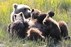 Brown_Bear_Mother_Alaska (49)