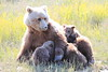 Brown_Bear_Mother_Alaska (77)