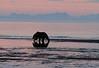 Bears_Dawn_Alaska (15)