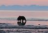 Bears_Dawn_Alaska (11)