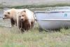 Brown_Bear_Tweens_Alaska (30)