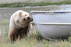 Brown_Bear_Tweens_Alaska (32)