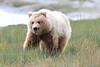 Brown_Bear_Tweens_Alaska (3)