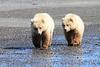 Brown_Bear_Tweens_Alaska (17)