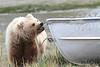 Brown_Bear_Tweens_Alaska (16)