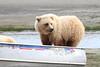 Brown_Bear_Tweens_Alaska (5)