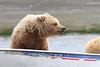 Brown_Bear_Tweens_Alaska (4)