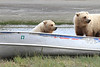 Brown_Bear_Tweens_Alaska (21)
