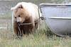 Brown_Bear_Tweens_Alaska (14)