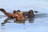 Brown_Bears_Swimming_Alaska (25)