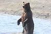 Brown_Bears_Swimming_Alaska (15)