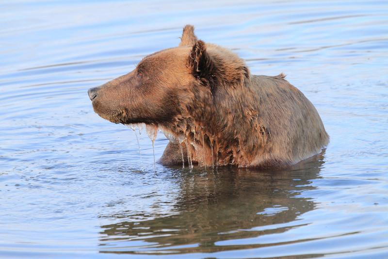 Brown_Bears_Swimming_Alaska (26)