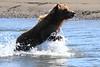 Brown_Bears_Swimming_Alaska (21)