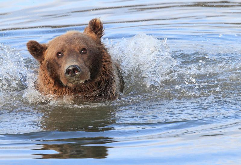 Brown_Bears_Swimming_Alaska (24)
