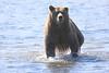 Brown_Bears_Swimming_Alaska (17)