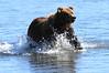 Brown_Bears_Swimming_Alaska (8)