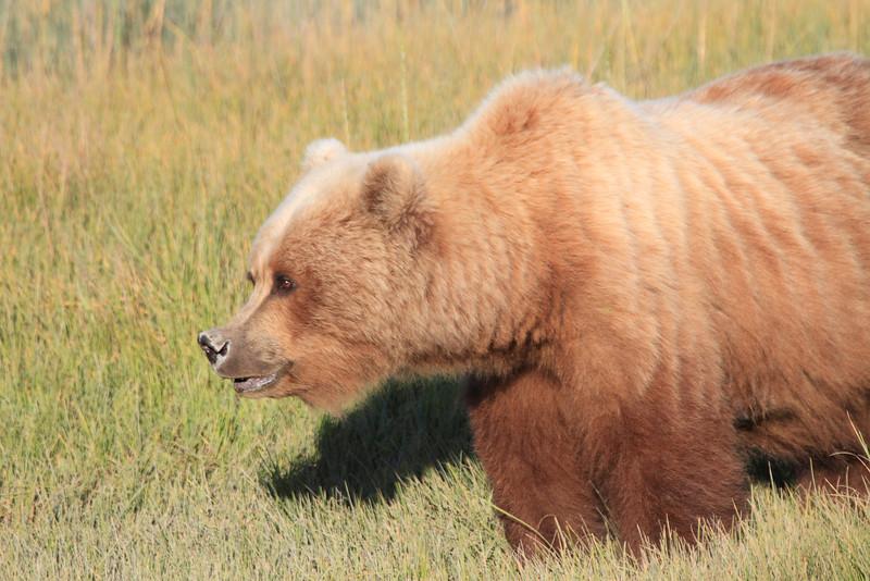 Brown_Bear_Mother_Alaska (72)