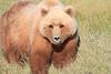 Brown_Bear_Mother_Alaska (78)