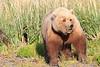 Brown_Bear_Mother_Alaska (42)