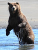 Brown_Bears_Swimming_Alaska (4)