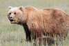 Brown Bear Cubs and Mom Alaska Silver Salmon