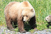 Brown Bear Cubs Mother Alaska Silver Salmon
