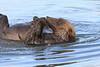 Brown_Bears_Swimming_Alaska (18)