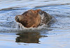 Brown_Bears_Swimming_Alaska (27)