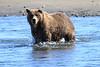 Brown_Bears_Swimming_Alaska (14)