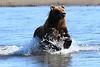 Brown_Bears_Swimming_Alaska (12)